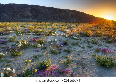 Blooming Desert, near Borrego Springs, catching day's first rays.