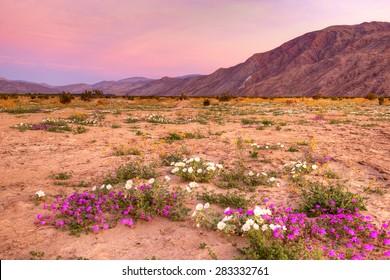Blooming  Desert near Borrego Springs at sunrise.