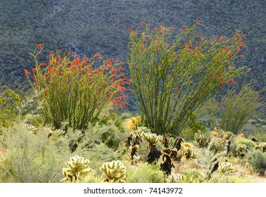 Blooming Desert Plant Ocotillo in Anza Borrego Desert, California (Fouquieria splendens, also called desert coral, coachwhip, Jacob's staff, and vine cactus)