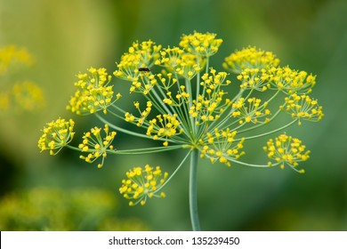 Blooming dill garden or smelly (Lat. Anethum graveolens)
