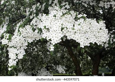 Blooming Dogwood tree with white blossom, Cornus Kousa