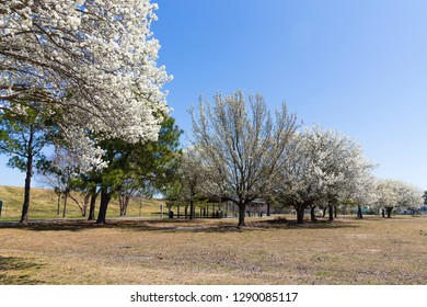 Blooming dogwood trees at Mount Trashmore Park in Virginia Beach, Virginia.