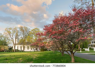 Blooming dogwood trees with a white church in the background at sunrise