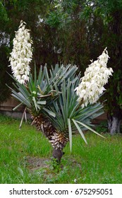 Blooming double yucca in springtime