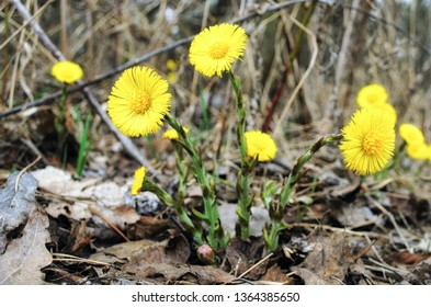 Blooming in early spring bush coltsfoot. Beautiful yellow coltsfoot flower. Tussilago farfara (Coltsfoot)