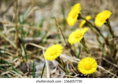 Blooming in early spring bush coltsfoot. Beautiful yellow coltsfoot flower. Tussilago farfara (Coltsfoot).