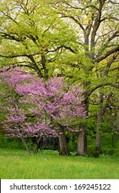 Blooming eastern redbud trees add their color to the spring woods at The Morton Arboretum in Lisle, Illinois.