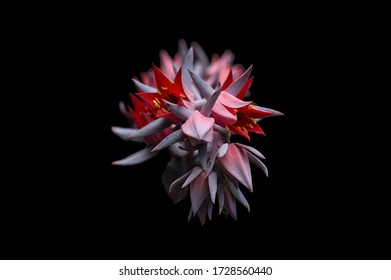 Blooming Echeveria plant isolated against black.