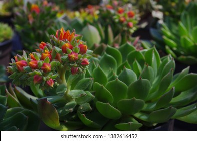 blooming Echeveria setosa. Echeveria red flowers.  Mexican fire cracker. Mexican Rose succulent