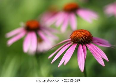 Blooming Echinacea, medicinal herb.