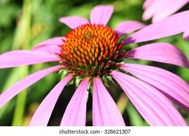Blooming Echinacea at sunny day, medicinal herb.