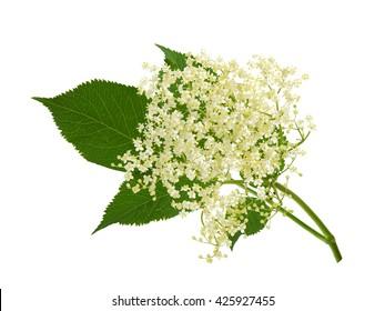 Blooming elder flower, Sambucus nigra
