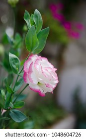 Blooming Eustoma russellianum flower with blurry background