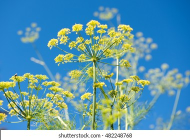 Blooming Fennel on Blue Sky Background