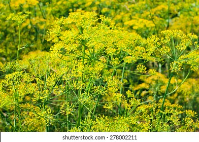 Blooming fennel seeds growing in the garden. Herbs and plants for cooking and medicine