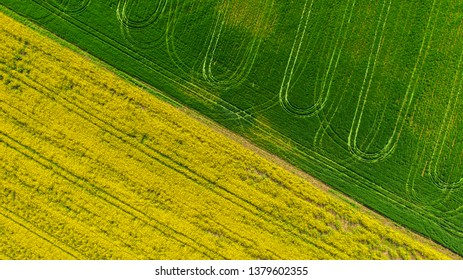 Blooming field with rapeseed and wheat