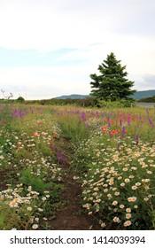 Blooming field. Varna region, Bulgaria.