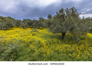 Blooming field of yellow flowers in Organic Olive grove on the Greek countryside of Lesbos island, Greece