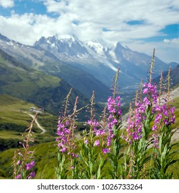 Blooming fireweed in The Alps against snowy peaks in summer day
