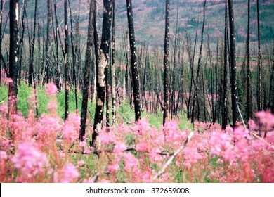 Blooming fireweed, epilobium angustifolium, begins cycle of life again after devastating forest fire in boreal forest of Yukon Territory, Canada