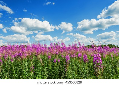 blooming fireweed on blue sky background with clouds