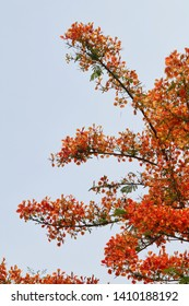 Blooming flamboyant flower. Flamboyant tree, Royal poinciana or flame tree. Red flower on sky background.