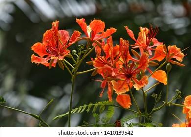 Blooming flamboyant flower. Flamboyant tree, Royal poinciana or flame tree.