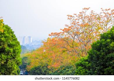 A Blooming Flamboyant Tree, Flame Tree