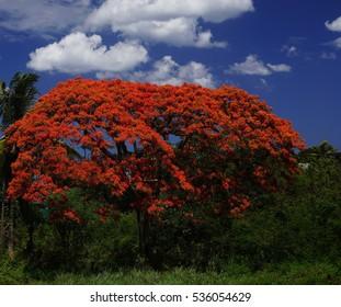 Blooming flamboyant tree in Mauritius