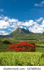 Blooming flamboyant tree with Pieter Both mountain as background in Mauritius
