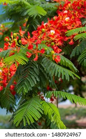 Blooming flamboyant tree with red flowers