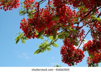 Blooming Flamboyant tree or Royal Poinciana,Delonix regia,Flame tree against blue sky.