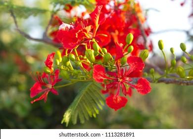 Blooming flower of Delonix regia (Flamboyant tree)