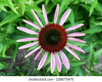 Blooming flower echinacea with leaves, living natural nature, aroma bouquet flora. Echinacea flower consisting of long pistil, rounded stamen, green grass. Botanical floral bunch from echinacea flower