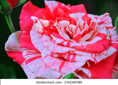 A blooming flower of a garden rose of the Philately variety with red and white stripes. Close up, shooting from above. Garden plant. Beautiful summer picture. Background, wallpaper.