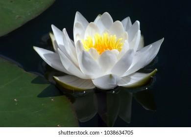blooming flower nenuphar summer day on the lake