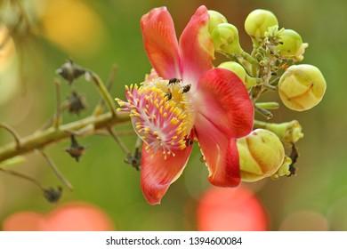 Blooming Flower of Sala Tree Called Sala Flower