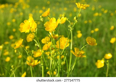 blooming flower in spring, buttercup, crowfoot, ranunculus