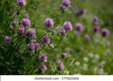 Blooming flowers. Clover flowers. Pink clovers on a green grass. Meadow with pink flowers. Wild violet flowers. Nature flower. Clowers on field. Clover is herbaceous plant, with dense globular flower.