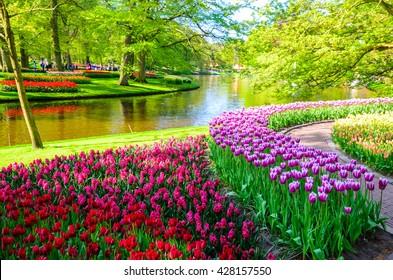 Blooming flowers in Keukenhof park in Netherlands, Europe.