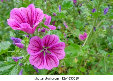 Blooming flowers of mallow - malva sylvestris - on green with purple natural background.