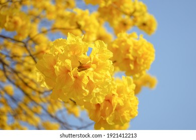 Blooming flowers Nichols Golden Tree or Tallow Pui (Tabebuia chrysantha) background blue sky