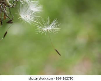 blooming fluffy dandelion on field in spring