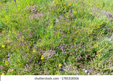 blooming forbs, clover, thyme on the plateau of Mount Ai-Petri in Crimea on a sunny summer day