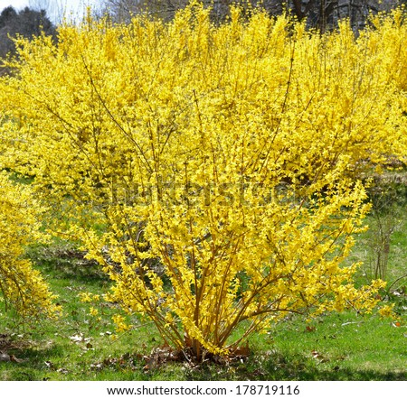 Blooming Forsythia Early Spring Yellow Flowers Stock Photo Edit Now