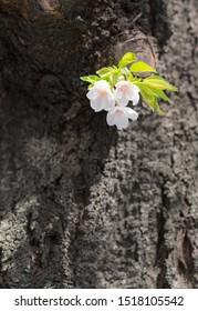 Blooming and freshly leaved little twig of sakura cherry tree, growing against all odds