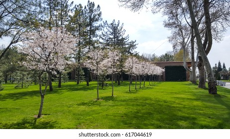 blooming fruit trees cherry