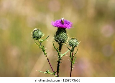 Blooming fully open Greater burdock or Arctium lappa or Edible burdock or Lappa or Gobo or Beggars buttons or Thorny burr or Happy major biennial plant with flowers resembling brush head and small bee