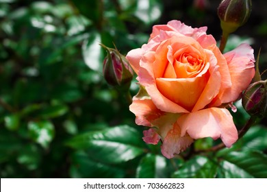Blooming in the garden rose Emilien Guillot