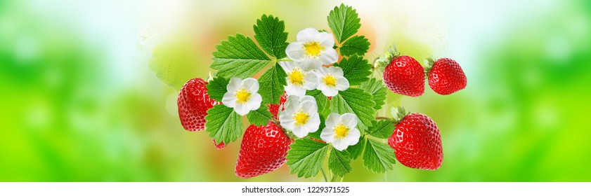 blooming garden strawberry witch tasty red fresh berries